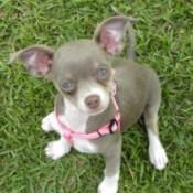 Chloe (Chihuahua)