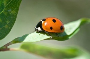 Getting Rid of Lady Bugs