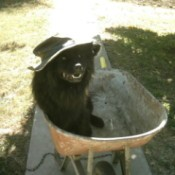Vader in a wheelbarrow wearing a hat.