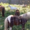 Two adult ponies, Sadie, and a white goat.
