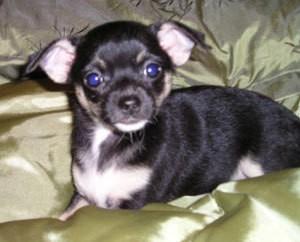 Closeup of Chi puppy.