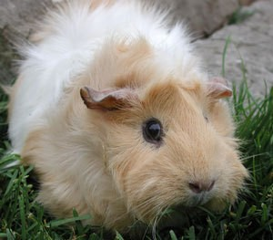 A tan and white guinea pig.