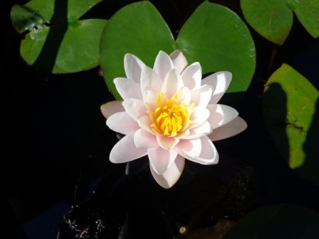 Lily growing in a pot