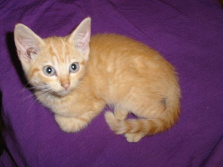 Orange tabby kitten on purple background.