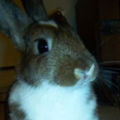 Closeup of gray and white house bunny.