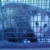 Opossum in a Cage