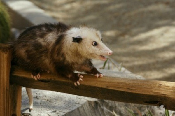 Getting Rid Of Opossums Thriftyfun