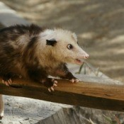 Getting Rid of Opossums