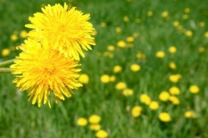 Recipes Using Dandelions