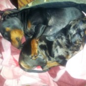 Dachshunds curled up asleep.