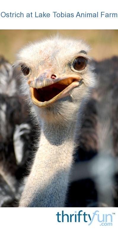 Ostrich At Lake Tobias Animal Farm Halifax Pa Thriftyfun