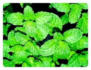 Mint leaves closeup.