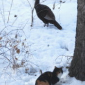 Pepper and the Wild Turkey (Cat)