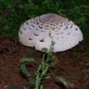 Large Mushroom in Garden