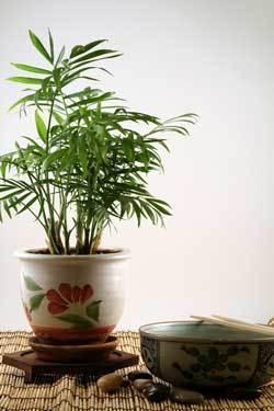 Indoor Palm Plant