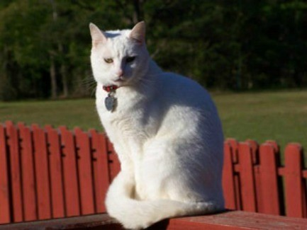 Cabbit, a white cat sitting outside.