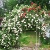 Arbor of White Roses Fed with Epsom Salts