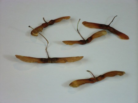 maple tree seed pods