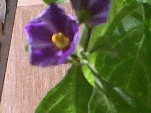 Purple flower is prominent yellow center.