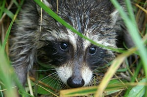 Keeping small wildlife out of flower beds thriftyfun - How to keep raccoons out of garden ...
