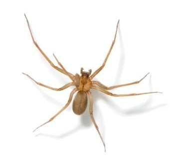 Getting Rid Of Brown Recluse Spiders Thriftyfun