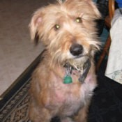 Mixed terrier with patchy fur.