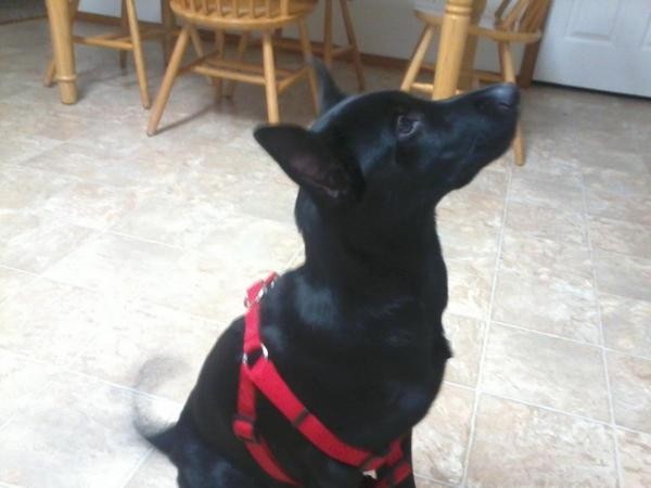 Black puppy with red harness, looking up.
