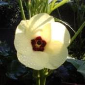 Closeup of okra flower.