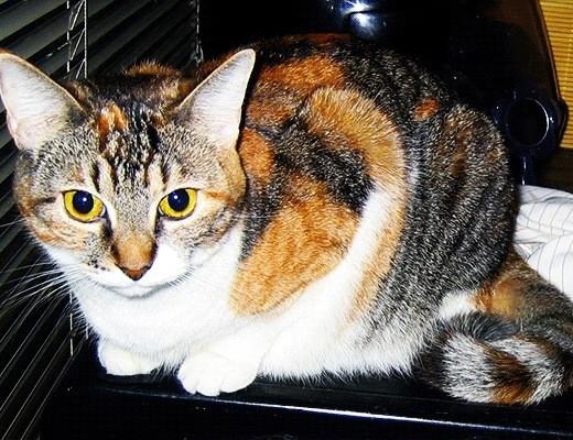 Close up of Cheebus, a calico cat.