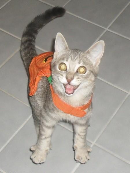 Trooper (Grey Tabby Cat)