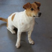 A Jack Russell sitting on the ground.