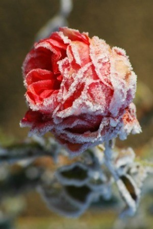 Photo of a frozen rose bush.