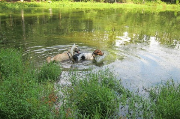 2 dogs swimming in pond.