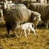 Sheep and Lamb on Farm