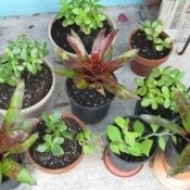 Growing houseplants from cuttings.