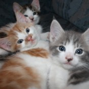 Two young tabby kittens and one calico.