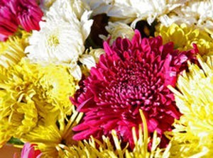 Many Colored Chrystanthemums