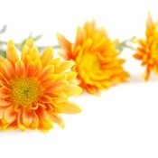 Orange Chrysanthemums