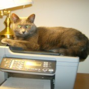 Graycie on top of copy machine.
