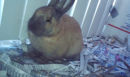 Brown bunny sitting on cut up newspaper.