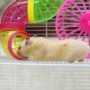 Pet hamster in a cage.