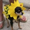 Brown Eyed Susan Costume For A Dog