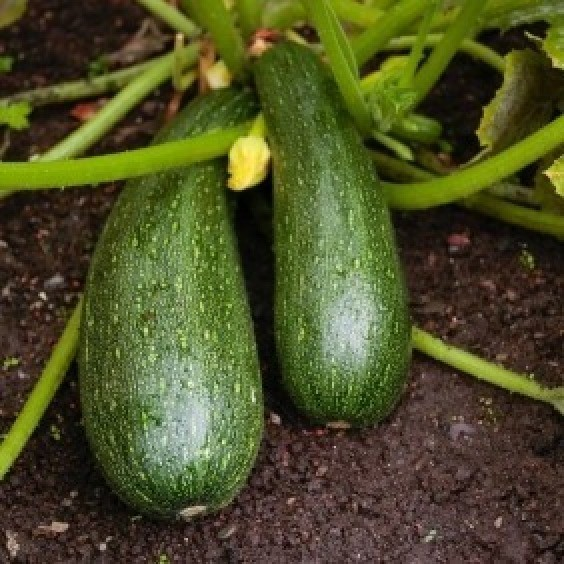 Growing Zucchini On A Trellis: Growing Zucchini Squash