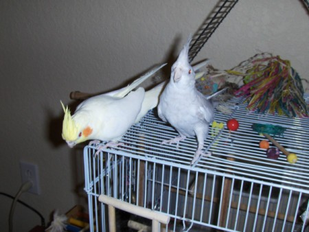 Moses and Zippy (Cockatiels)