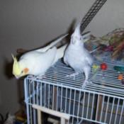 Moses and Zippy (Cockatiels)