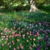 Naturalized Bulbs