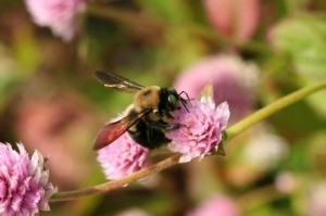 Carpenter bee on a flower.