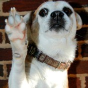Dog giving high 5.
