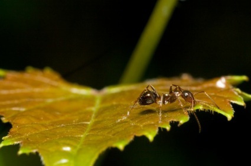 Ant on a leaf. Trying to safely get rid of ants ...