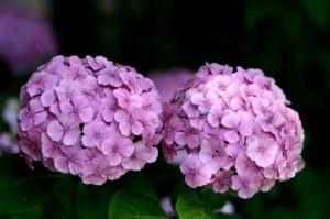 Photo of a purple Hydrangea.